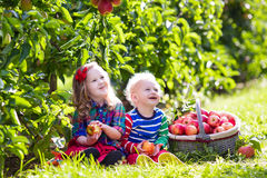 Kids picking apples in fruit garden stock photography