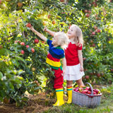 Kids picking apples in fruit garden Royalty Free Stock Images