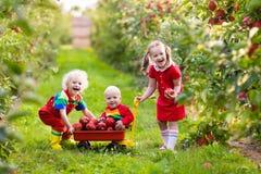 Kids picking apples in fruit garden Stock Photos