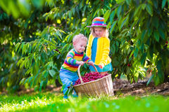 Kids picking cherry fruit on a farm Royalty Free Stock Photo