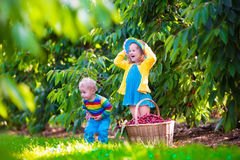 Kids picking cherry fruit on a farm Royalty Free Stock Images