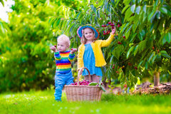 Kids picking cherry fruit on a farm Royalty Free Stock Image