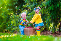 Kids picking cherry fruit on a farm Royalty Free Stock Photography