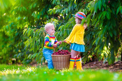 Kids picking cherry fruit on a farm Royalty Free Stock Photos