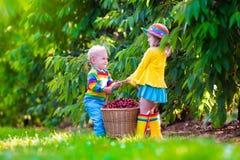 Kids picking cherry fruit on a farm Royalty Free Stock Photos