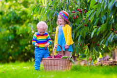 Kids picking cherry fruit on a farm Stock Photography