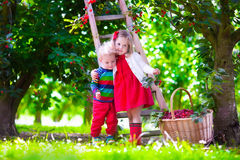 Kids picking cherry on a fruit farm garden Royalty Free Stock Photo