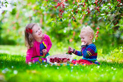 Kids picking cherry on a fruit farm garden. Kids picking cherry on a fruit farm. Children pick cherries in summer orchard. Toddler kid and baby eat fresh fruit stock photo