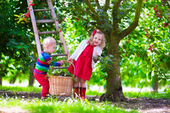 Kids picking cherry on a fruit farm garden Stock Photos