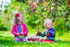 Kids picking cherry on a fruit farm garden Stock Image