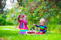 Kids picking cherry on a fruit farm garden. Kids picking cherry on a fruit farm. Children pick cherries in summer orchard. Toddler kid and baby eat fresh fruit Royalty Free Stock Photography