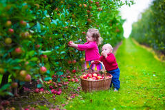 Kids picking fresh apple on a farm. Child picking apples on a farm in autumn. Little girl and boy play in apple tree orchard. Kids pick fruit in a basket Royalty Free Stock Image
