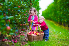 Kids picking fresh apple on a farm. Child picking apples on a farm in autumn. Little girl and boy play in apple tree orchard. Kids pick fruit in a basket