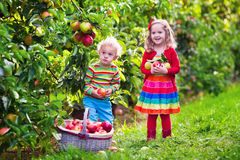 Kids picking fresh apples from tree in a fruit orchard Royalty Free Stock Photos