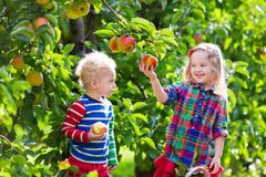 Kids picking fresh apples from tree in a fruit orchard Royalty Free Stock Image