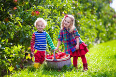 Kids picking fresh apples from tree in a fruit orchard Royalty Free Stock Photography