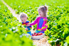 Kids picking fresh strawberry on a farm royalty free stock photo
