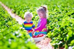 Kids picking fresh strawberry on a farm stock photo