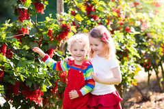 Kids picking red currant berry in the garden Royalty Free Stock Image