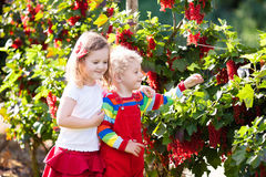 Kids picking red currant berry in the garden Stock Photos
