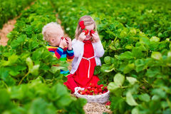 Kids picking strawberry on a farm field Stock Photography