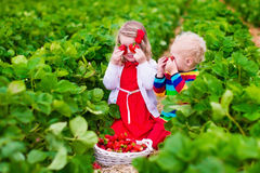 Kids picking strawberry on a farm field Royalty Free Stock Images