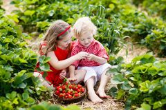 Kids pick strawberry on berry field in summer Royalty Free Stock Image
