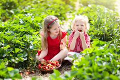Kids pick strawberry on berry field in summer stock photos