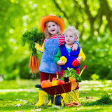 Kids picking vegetables on organic farm. Two children picking fresh vegetables on organic bio farm. Kids gardening and farming. Autumn harvest fun for family Stock Image