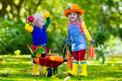 Kids picking vegetables on organic farm. Two children picking fresh vegetables on organic bio farm. Kids gardening and farming. Autumn harvest fun for family Royalty Free Stock Photo
