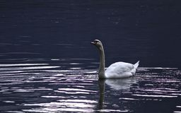 Kids in Prague. This photo was taken in Hallstatt, Austria. Swan in lake Stock Image