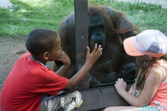 Kids at San Diego Zoo. Looking at a orangutan royalty free stock photos