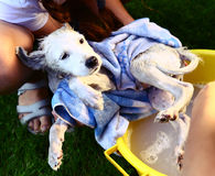 Kids wash stray white puppy in yellow basin on the summer garden background Stock Images