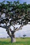 Kiełbasiany drzewo Zdjęcia Royalty Free