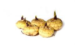 Kiełkować żarówka gladiolusa  Zdjęcia Royalty Free