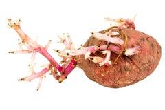 Kiełkująca różowa grula odizolowywająca na białym tle Zdjęcie Stock