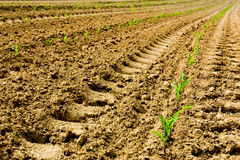 kiełkującej kukurydziany Obraz Stock