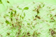 Kiełkujący potomstwa r jarzynowych szklanych liście na słoju woda na zielonym tle obraz stock