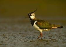 Kiebitz - (Vanellus Vanellus Stockbild