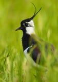 Kiebitz - (Vanellus Vanellus) Stockfotografie