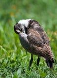 Kiebitzkükenschnabel unter Flügel Stockfotos
