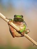 kiedy costa znalazł żab żaby się zakłada się wyższy Nikaragui zazwyczaj innej Panamy roślinność drzewna rica drzew Zdjęcie Stock