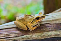 kiedy costa znalazł żab żaby się zakłada się wyższy Nikaragui zazwyczaj innej Panamy roślinność drzewna rica drzew Zdjęcia Royalty Free