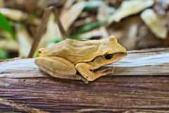 kiedy costa znalazł żab żaby się zakłada się wyższy Nikaragui zazwyczaj innej Panamy roślinność drzewna rica drzew Zdjęcie Royalty Free