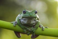 kiedy costa znalazł żab żaby się zakłada się wyższy Nikaragui zazwyczaj innej Panamy roślinność drzewna rica drzew Obrazy Stock