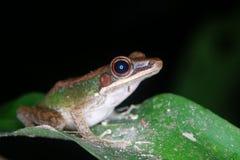 kiedy costa znalazł żab żaby się zakłada się wyższy Nikaragui zazwyczaj innej Panamy roślinność drzewna rica drzew Fotografia Royalty Free