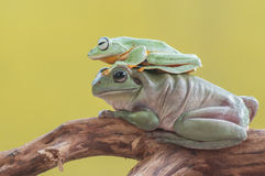 kiedy costa znalazł żab żaby się zakłada się wyższy Nikaragui zazwyczaj innej Panamy roślinność drzewna rica drzew Zdjęcia Stock