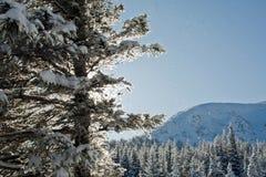 Kiefer abgedeckt mit Schnee Stockfotos