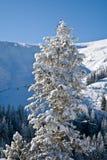 Kiefer abgedeckt mit Schnee Stockbild