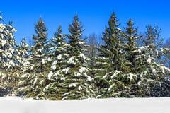 Kiefer abgedeckt mit Schnee Stockfotografie